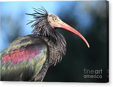 Waldrapp Ibis 5d27049 Canvas Print by Wingsdomain Art and Photography