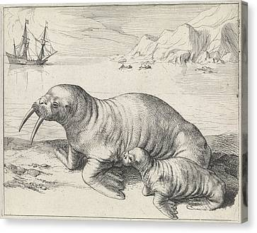 Walrus In Spitsbergen Svalbard Norway, Hessel Gerritsz Canvas Print by Quint Lox