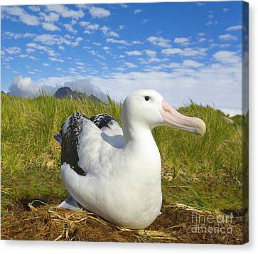 Wandering Albatross Incubating S Georgia Canvas Print by