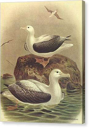 Wandering Albatross Canvas Print by J G Keulemans
