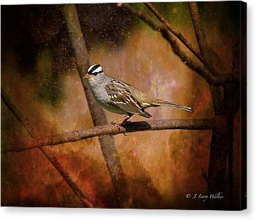 Watchful White-crowned Sparrow Canvas Print by J Larry Walker