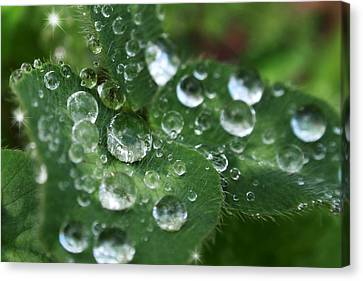 Water Drops On Green Clover Canvas Print by Christina Rollo