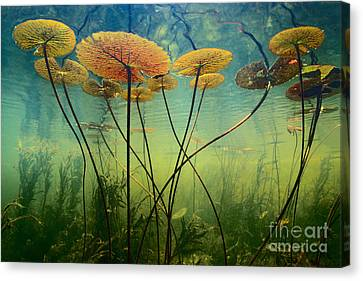 Water Lilies Canvas Print by Frans Lanting MINT Images