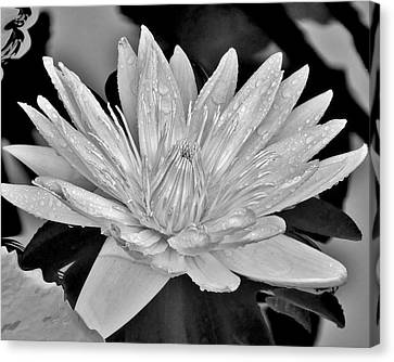 Water Lily - Black And White Canvas Print by Kim Bemis