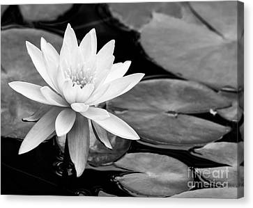 Water Lily In The Lily Pond Canvas Print by Sabrina L Ryan
