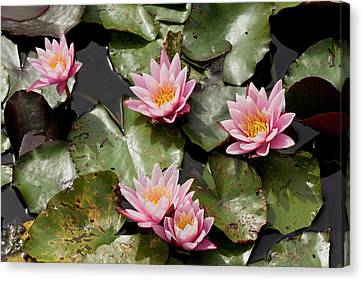 Water Lily (nymphaea 'pink Sensation') Canvas Print by Bob Gibbons