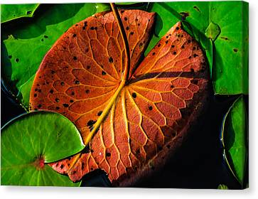 Water Lily Pad Canvas Print by Louis Dallara