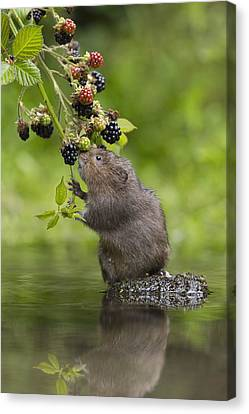 Water Vole Eating Blackberries Kent Uk Canvas Print by Penny Dixie