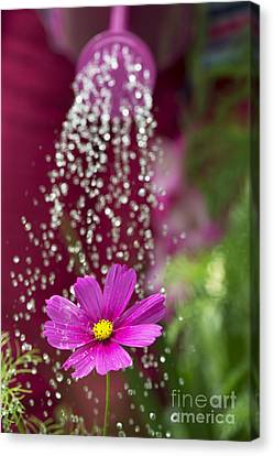 Watering The Cosmos Canvas Print by Tim Gainey