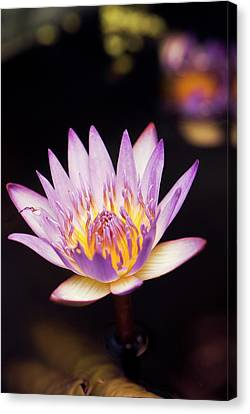 Waterlily (nymphaea Capensis) Flower Canvas Print by Adrian Thomas