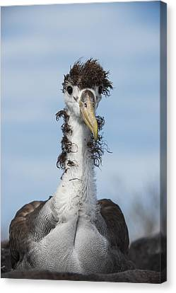 Waved Albatross Molting Juvenile Canvas Print by Pete Oxford