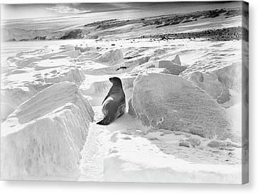 Weddell Seal In Antarctica Canvas Print by Scott Polar Research Institute