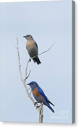 Western Bluebird Pair Canvas Print by Mike  Dawson