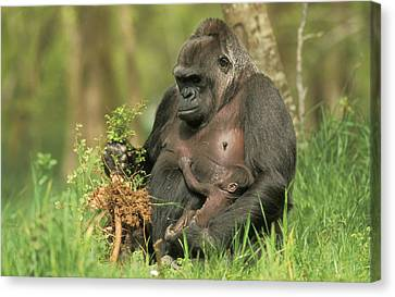 Western Gorilla And Young Canvas Print by M. Watson