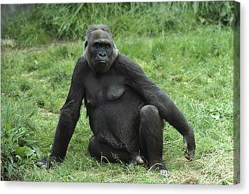 Western Lowland Gorilla Female Canvas Print by Gerry Ellis