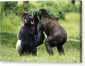 Western Lowland Gorilla Males Fighting Canvas Print by Konrad Wothe