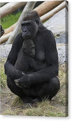 Western Lowland Gorilla Mother And Baby Canvas Print by San Diego Zoo