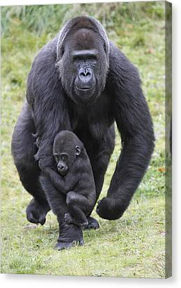 Western Lowland Gorilla Walking Canvas Print by Duncan Usher
