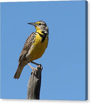 Western Meadowlark Perching Canvas Print by Bob and Jan Shriner
