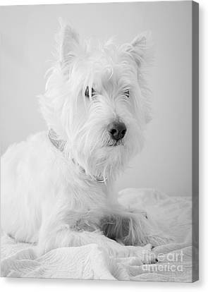 Westie Dog In Black And White Canvas Print by Edward Fielding