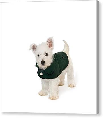 Westie Puppy In A Coat Canvas Print by Natalie Kinnear