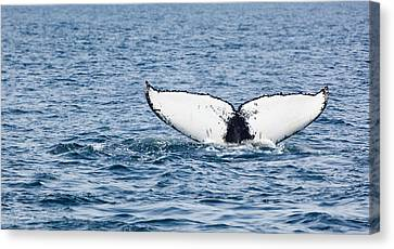 Whale Tail Stellwagen Bank Canvas Print by Michelle Wiarda