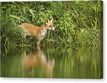 What Does The Fox See Canvas Print by Roeselien Raimond