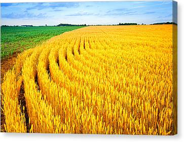 Wheat And Corn Canvas Print by Alexey Stiop