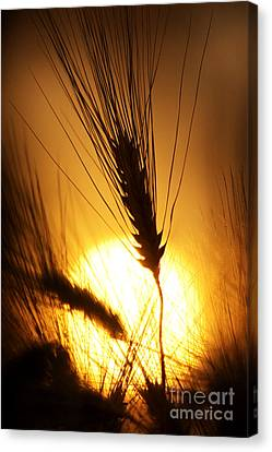 Wheat At Sunset Silhouette Canvas Print by Tim Gainey