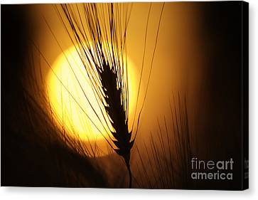 Wheat At Sunset  Canvas Print by Tim Gainey