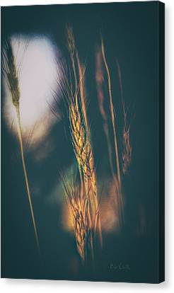 Wheat Of The Evening Canvas Print by Bob Orsillo