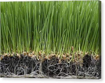Wheatgrass Canvas Print by Tim Gainey