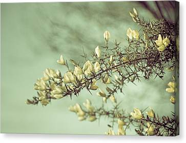 When Gorse Flowers Sing Their Melody Canvas Print by Loriental Photography