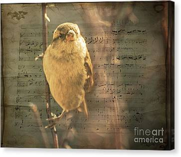Whistling Song Sparrow Canvas Print by Janice Rae Pariza