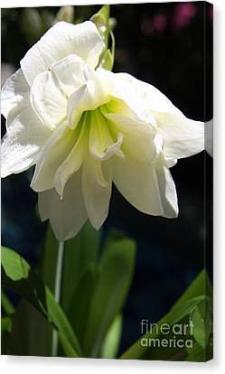 White Amarillys Canvas Print by Christiane Schulze Art And Photography