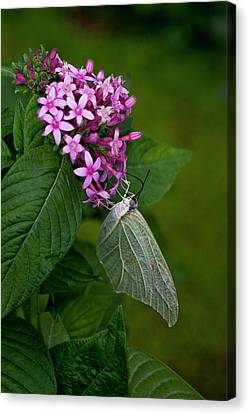 White Angled-sulphur Butterfly, Anteos Canvas Print by Thomas Wiewandt
