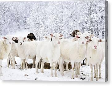 White As Snow Canvas Print by Thomas R Fletcher