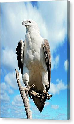 White-bellied Sea Eagle Canvas Print by Bildagentur-online/mcphoto-schulz