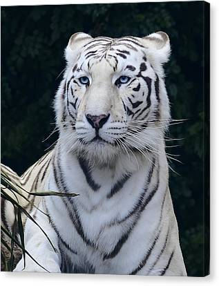 Blue Eyed White Bengal Tiger Canvas Print by Daniel Hagerman
