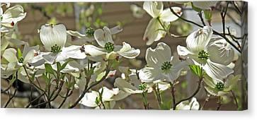 White Blossoms Canvas Print by Barbara McDevitt
