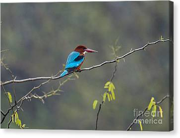 White-breasted Kingfisher Canvas Print by William H. Mullins
