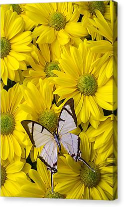 White Butterfly On Yellow Mums Canvas Print by Garry Gay
