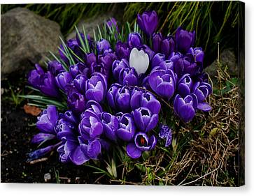 White Crocus On A Field Of Purple Canvas Print by Ron Roberts