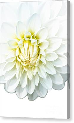 White Dahlia Canvas Print by Jan Brons