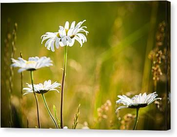 White Daisies Canvas Print by Matt Dobson