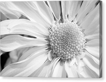 White Daisy Canvas Print by Adam Romanowicz