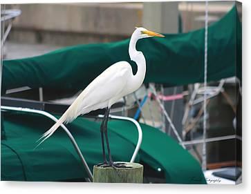 White Egret Canvas Print by Debra Forand