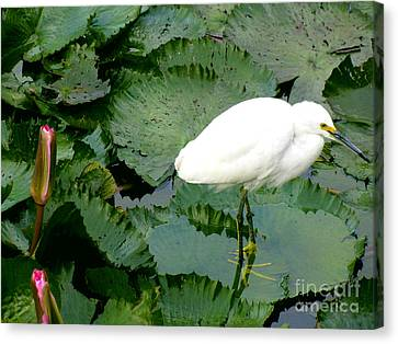 White Egret On Lilypads Canvas Print by Alanna DPhoto