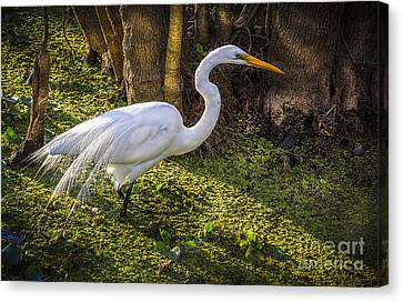 White Egret On The Hunt Canvas Print by Marvin Spates