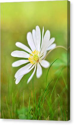 White Flower Canvas Print by Gynt